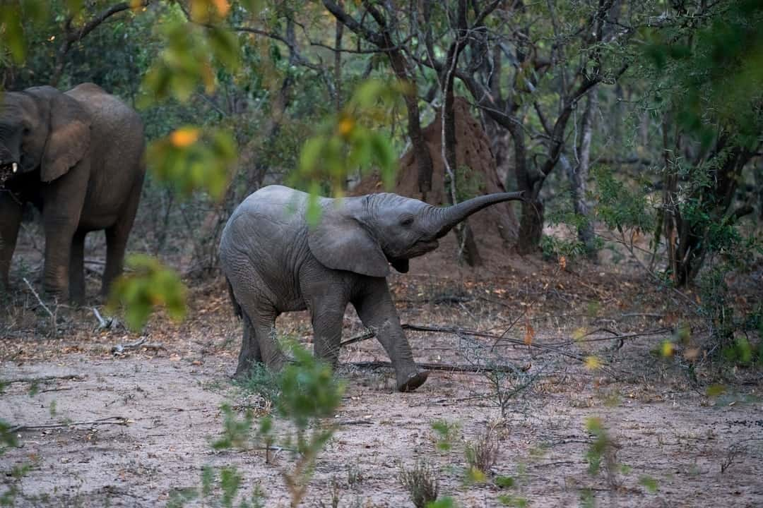 A mother and baby elephant walking through a forest